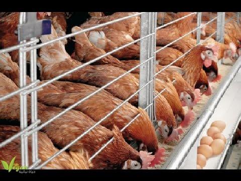 اضرار البيض 7 أسباب صحية لعدم تناول الدواجن و البيض